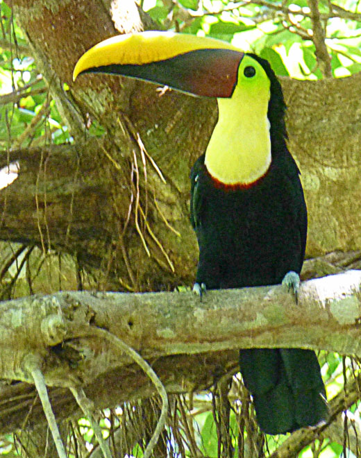 toucan on the grounds of hotel DoceLunas in Jaco